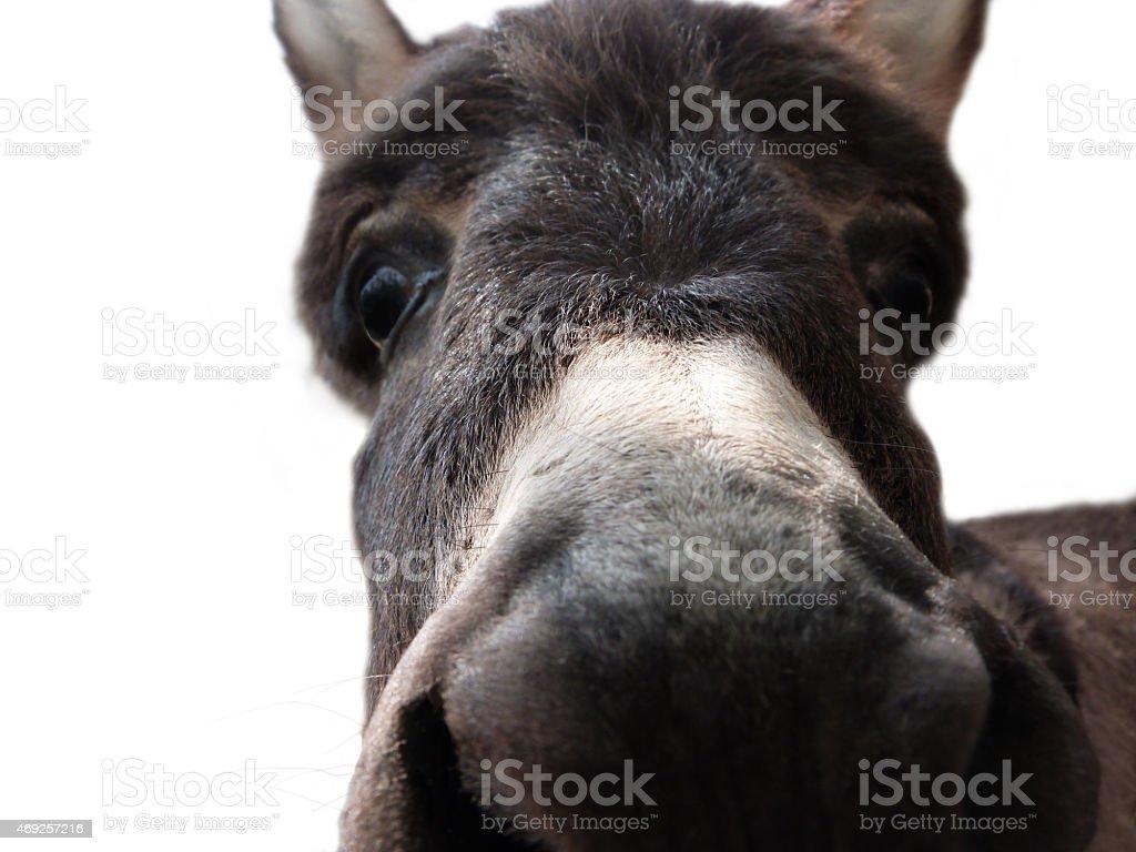 Donkey Baby Isolated On White stock photo