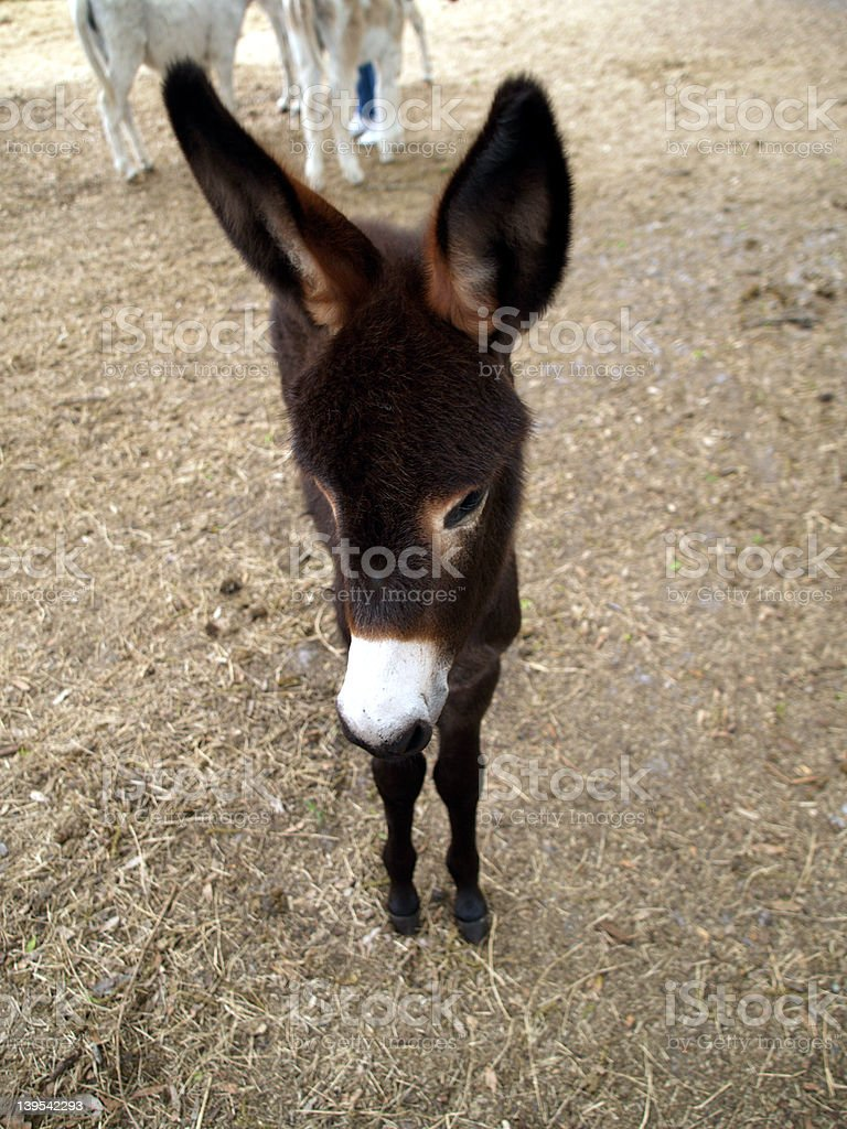 donkey baby royalty-free stock photo