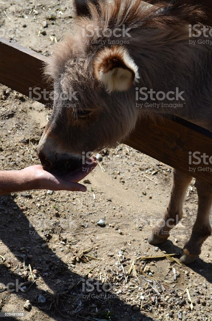 Donkey behind a wooden fence in Sardinia Italy stock photo