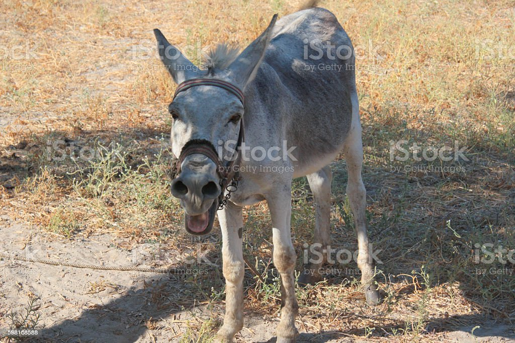 donkey bray stock photo