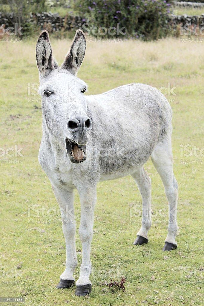 Donkey Braying stock photo