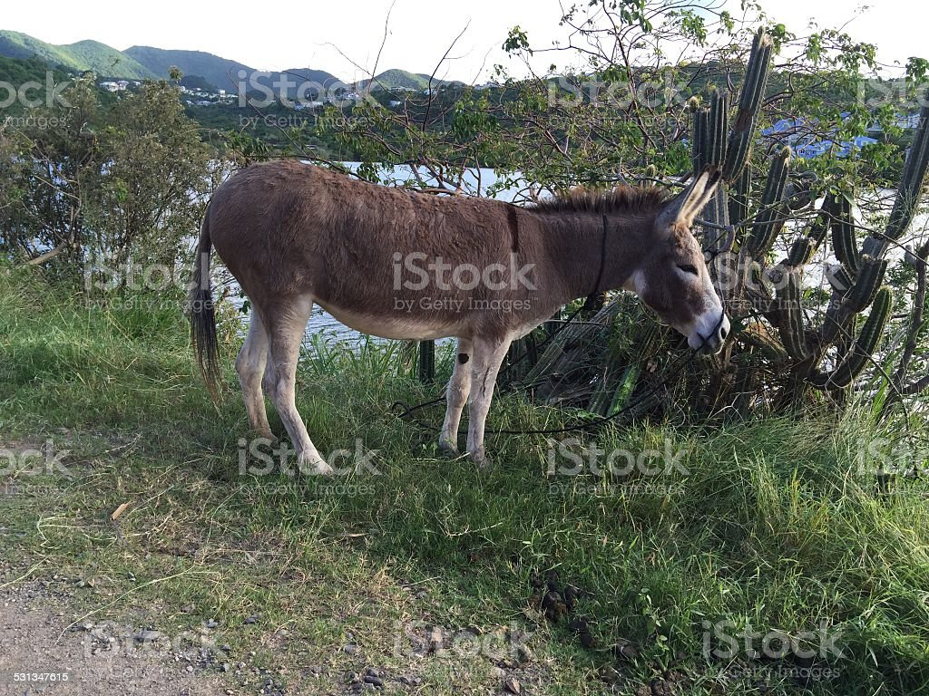 Donkey by the river and cactus stock photo