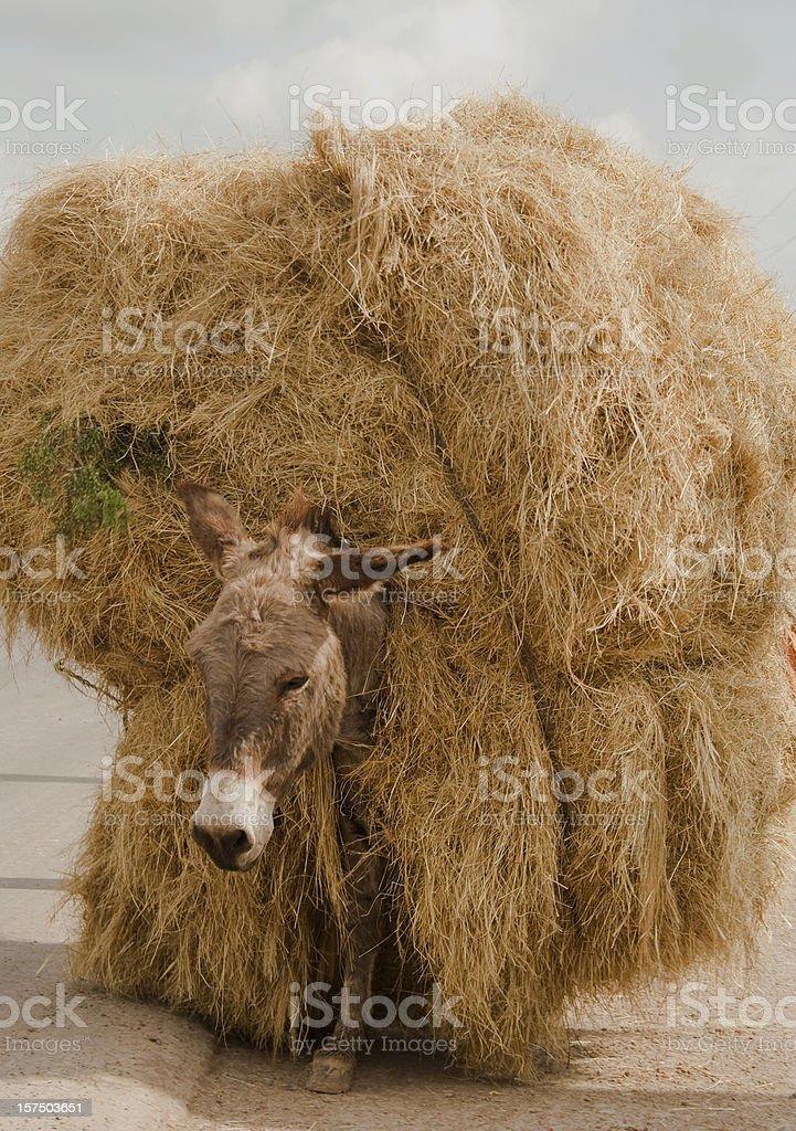 Donkey carrying huge hay bail stock photo