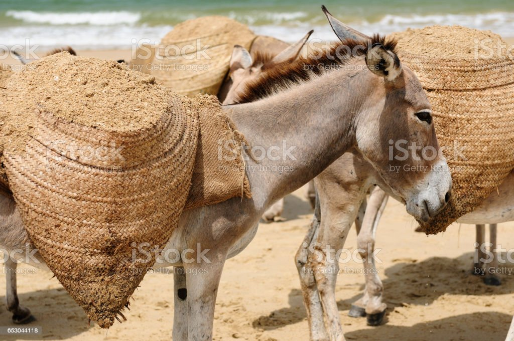 Donkey cerrying sand on the Lamu archipelago stock photo