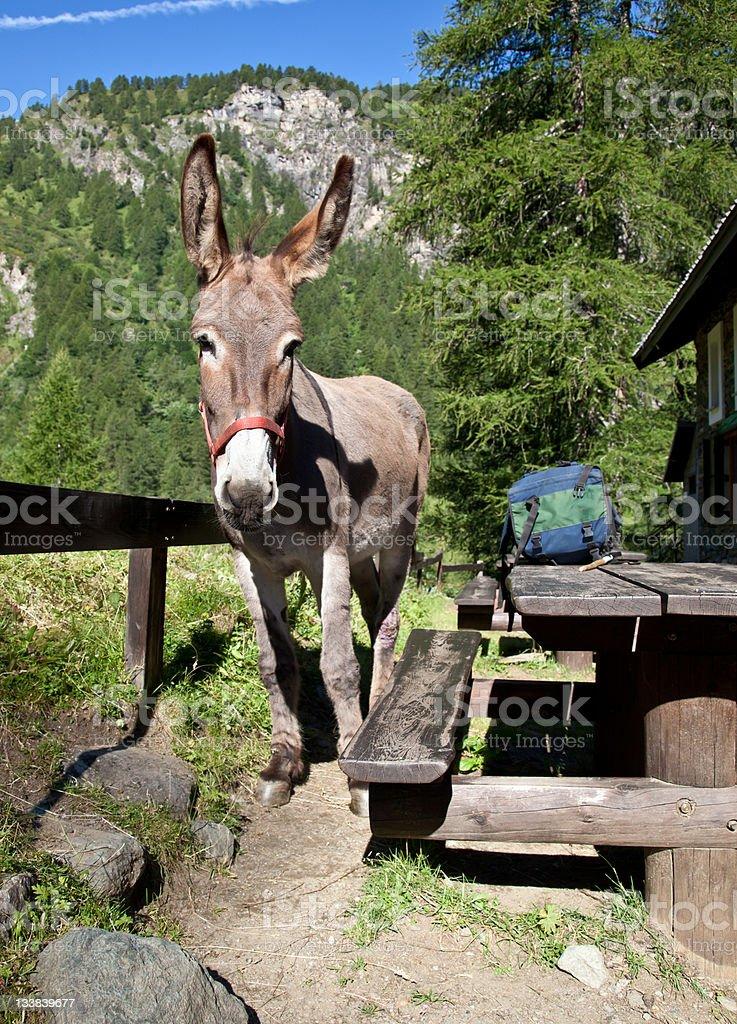 Donkey close up royalty-free stock photo