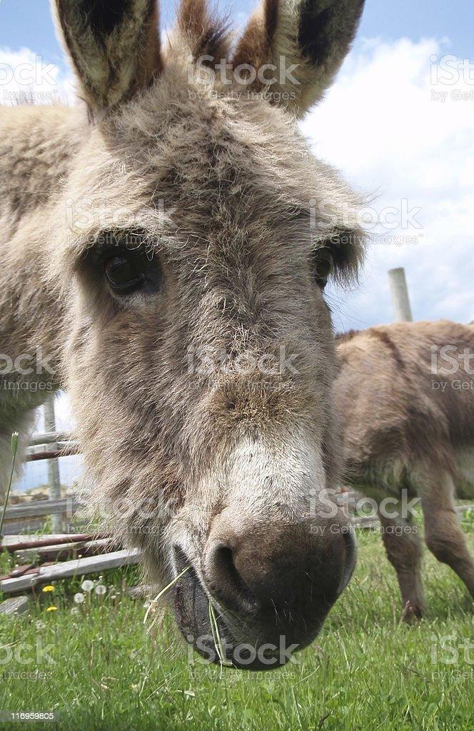 Donkey Close-up royalty-free stock photo
