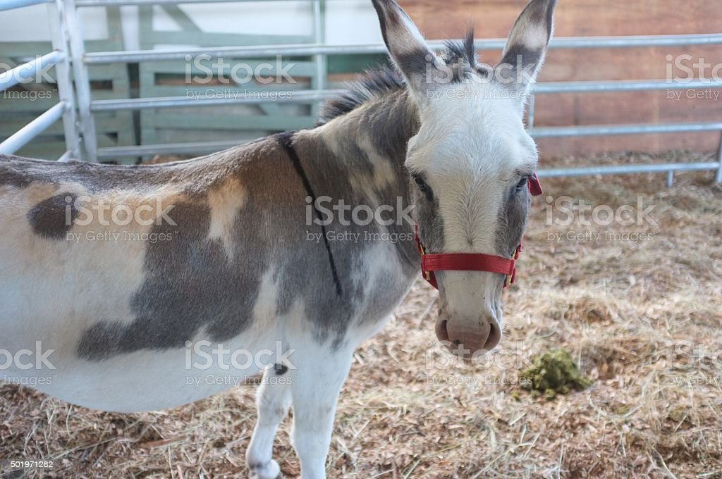 Donkey closeup stock photo
