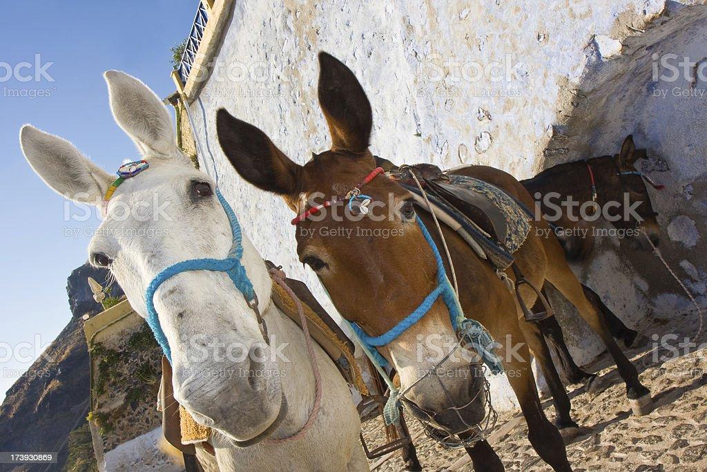 donkey couple royalty-free stock photo
