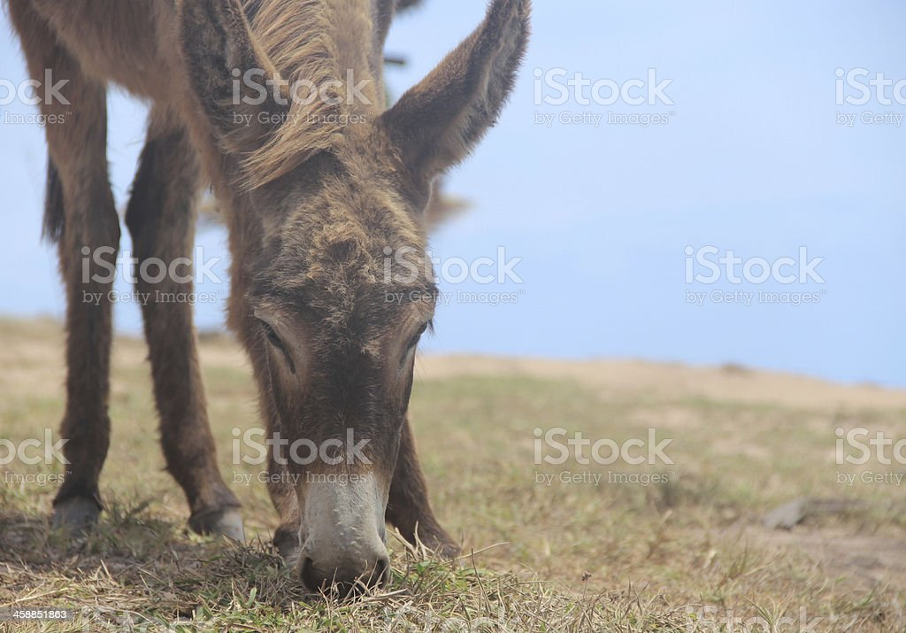 Donkey eating royalty-free stock photo