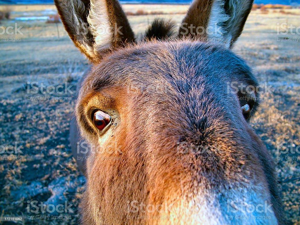 Donkey Face royalty-free stock photo