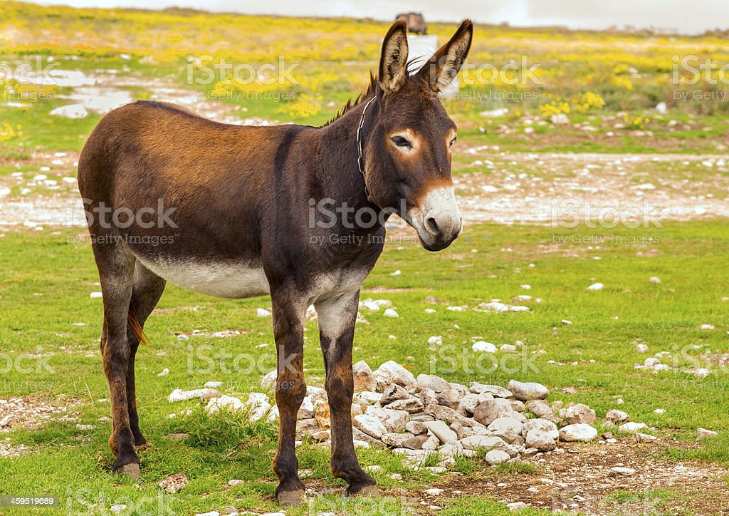 Donkey Farm Animal brown color standing on field grass royalty-free stock photo