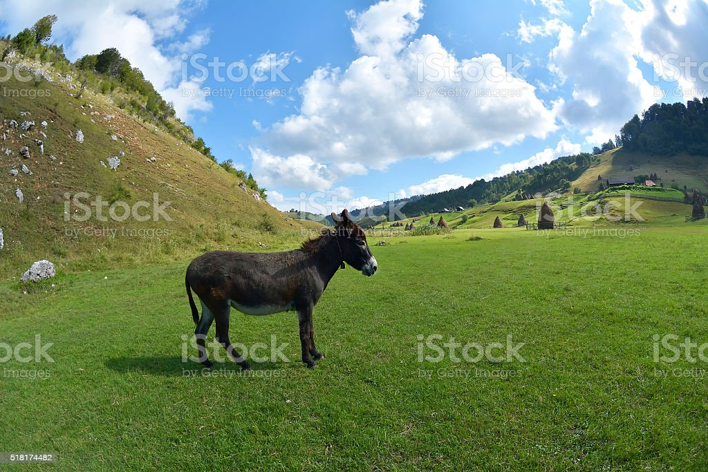 Donkey Farm Animal brown color standing on field grass stock photo