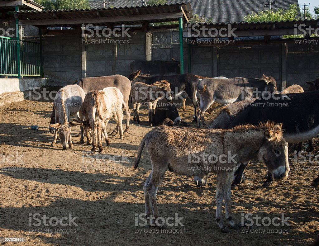 Donkey Farm. Crimea. Autumn 2015 stock photo