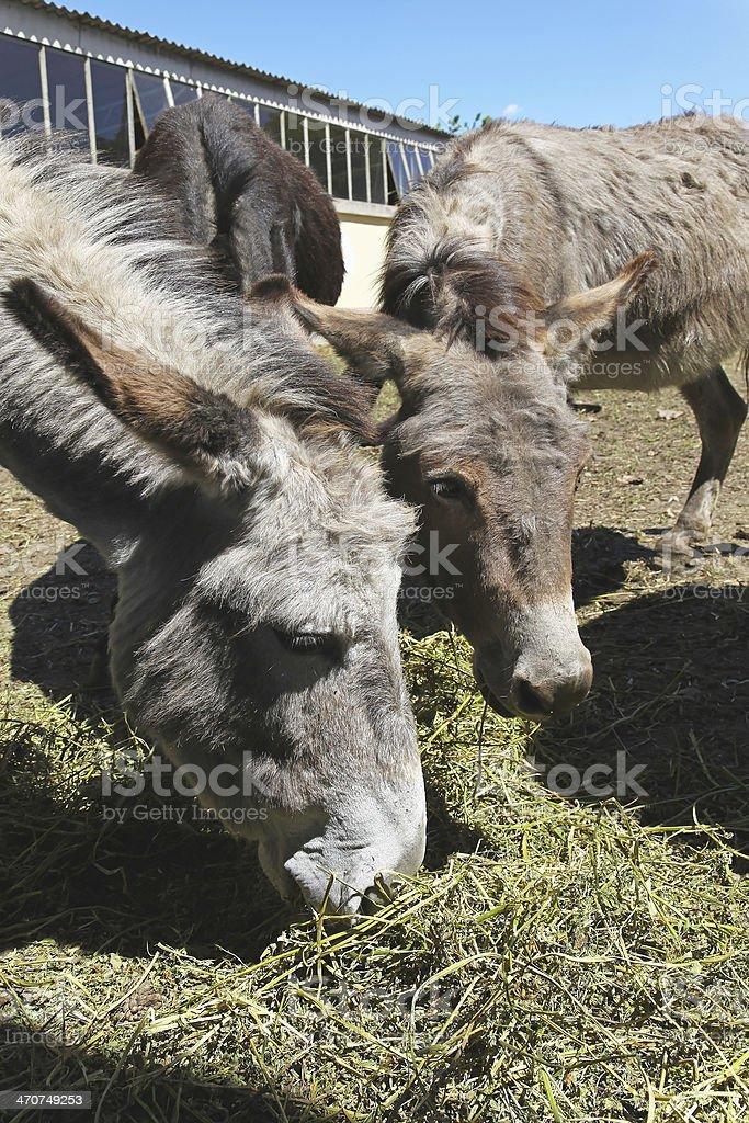 Donkey farm royalty-free stock photo