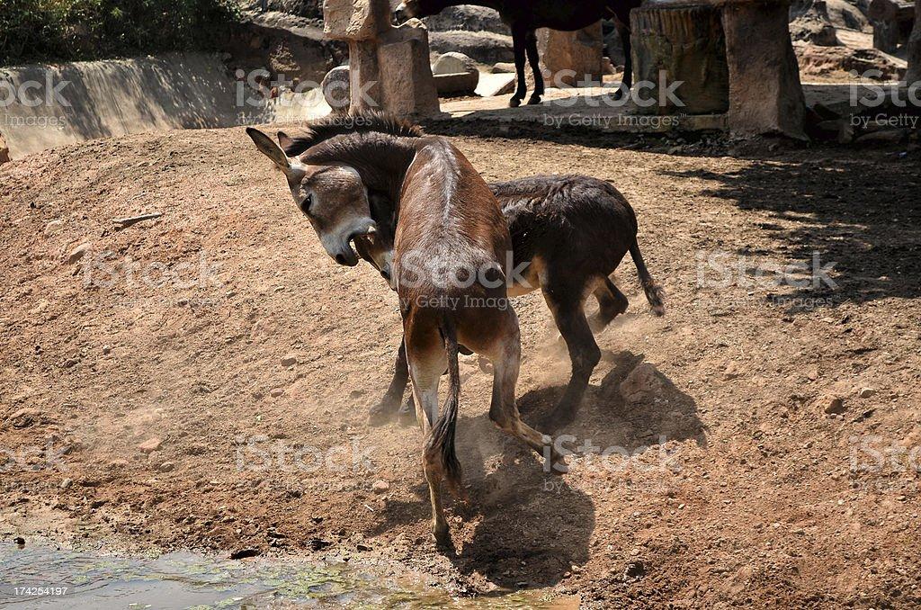 Donkey fight royalty-free stock photo
