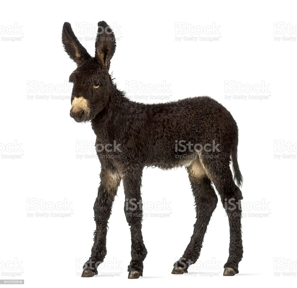 Donkey foal, baudet du poitoux isolated on white stock photo