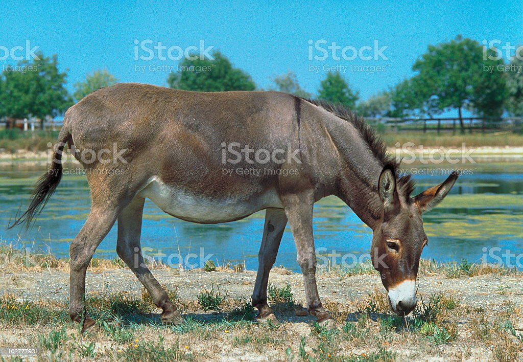 Donkey grazing in a landscape with a lake on backgorund royalty-free stock photo