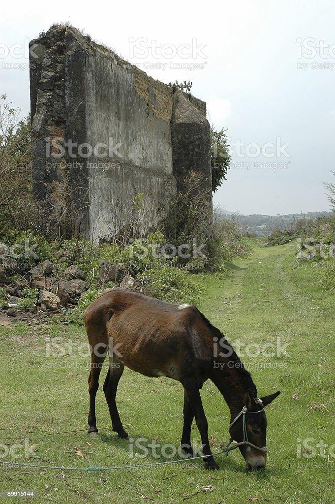Donkey Пастьба в руины Стоковые фото Стоковая фотография