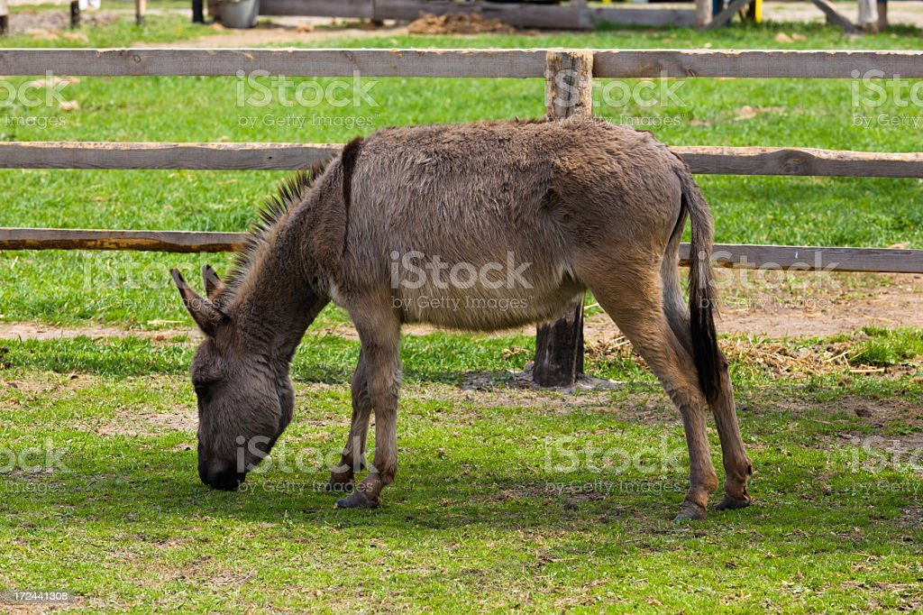 donkey grazing in the meadow royalty-free stock photo
