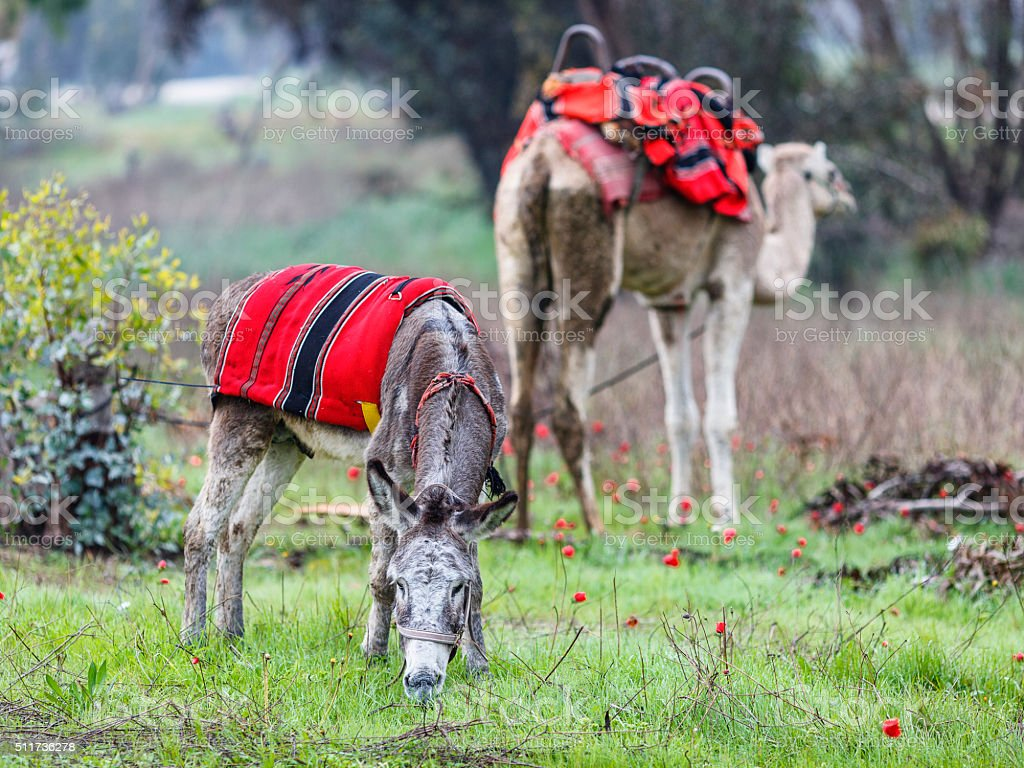 Donkey grazing on a green meadow with anemones stock photo