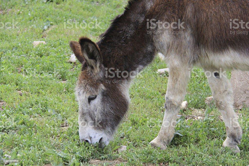 Donkey grazing royalty-free stock photo
