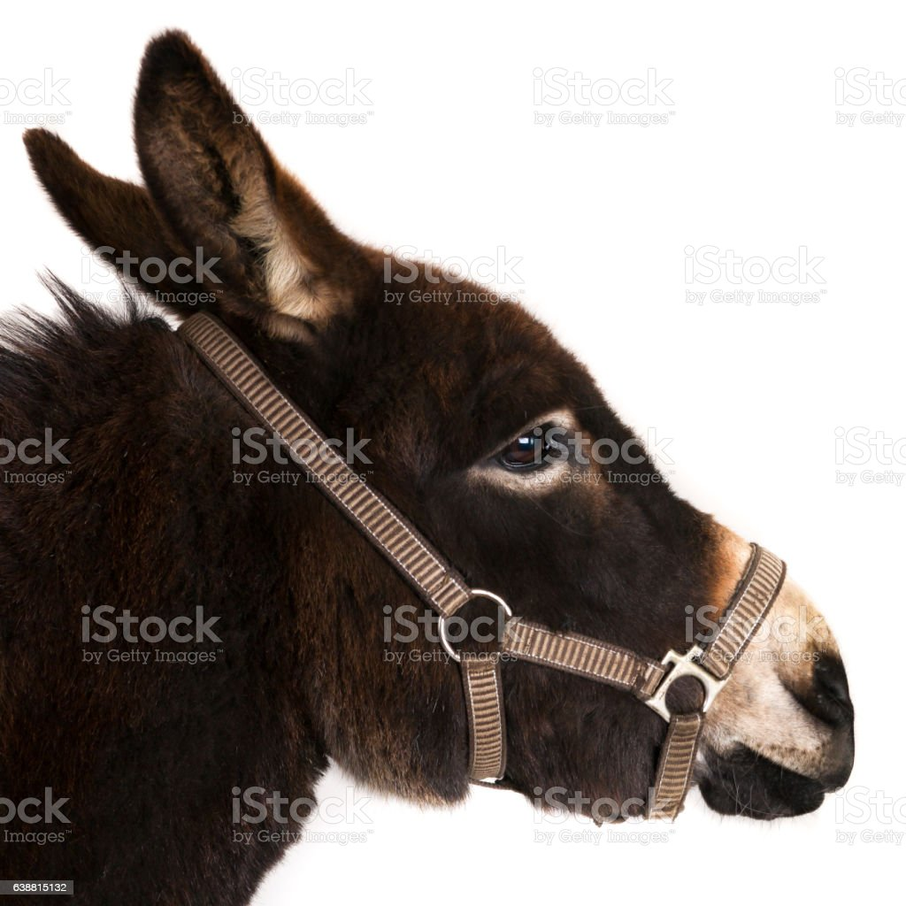 Donkey head, profile. stock photo