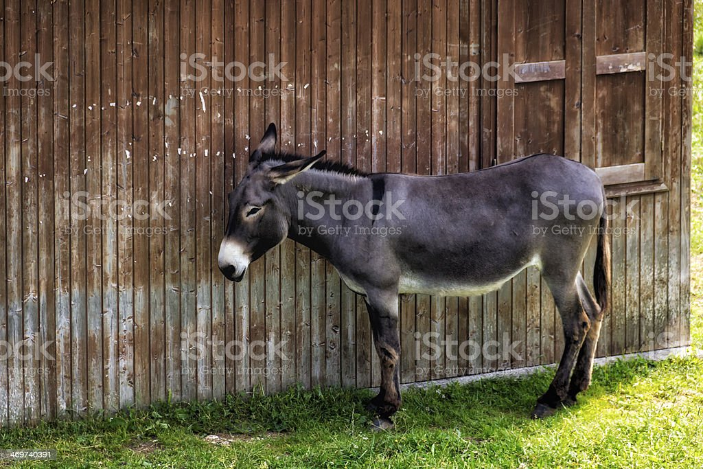 Donkey Hiding Next to a Wooden House royalty-free stock photo