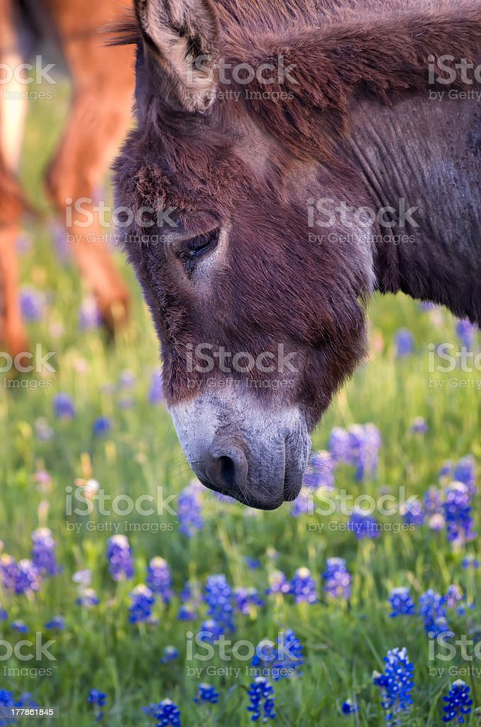 Donkey in a Field of Bluebonnets royalty-free stock photo