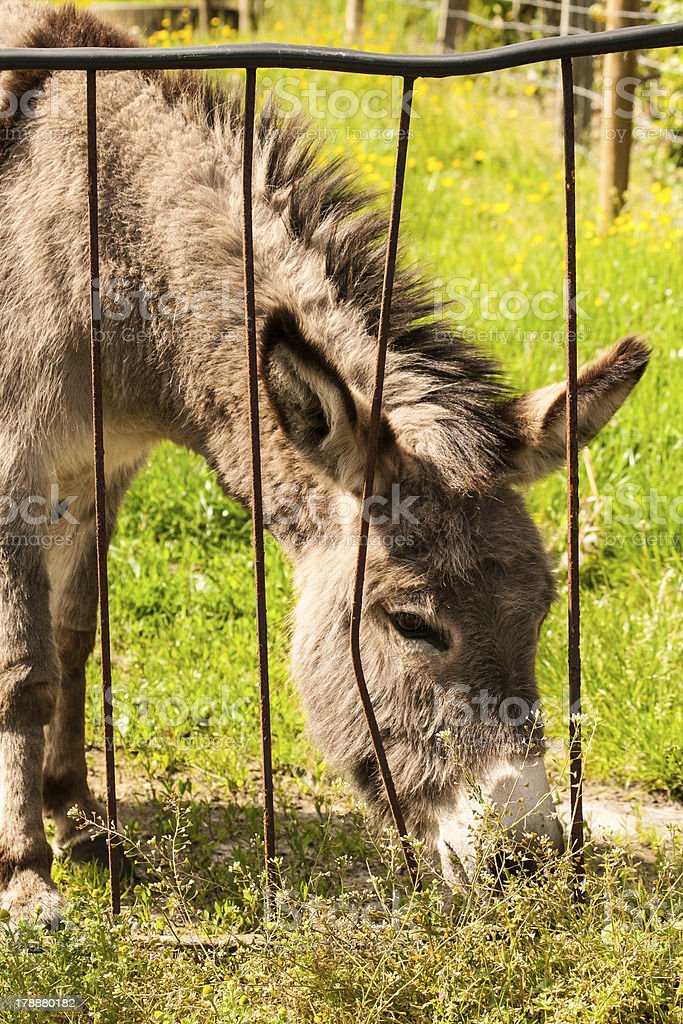 Donkey in a Field on sunny day eating grass. royalty-free stock photo