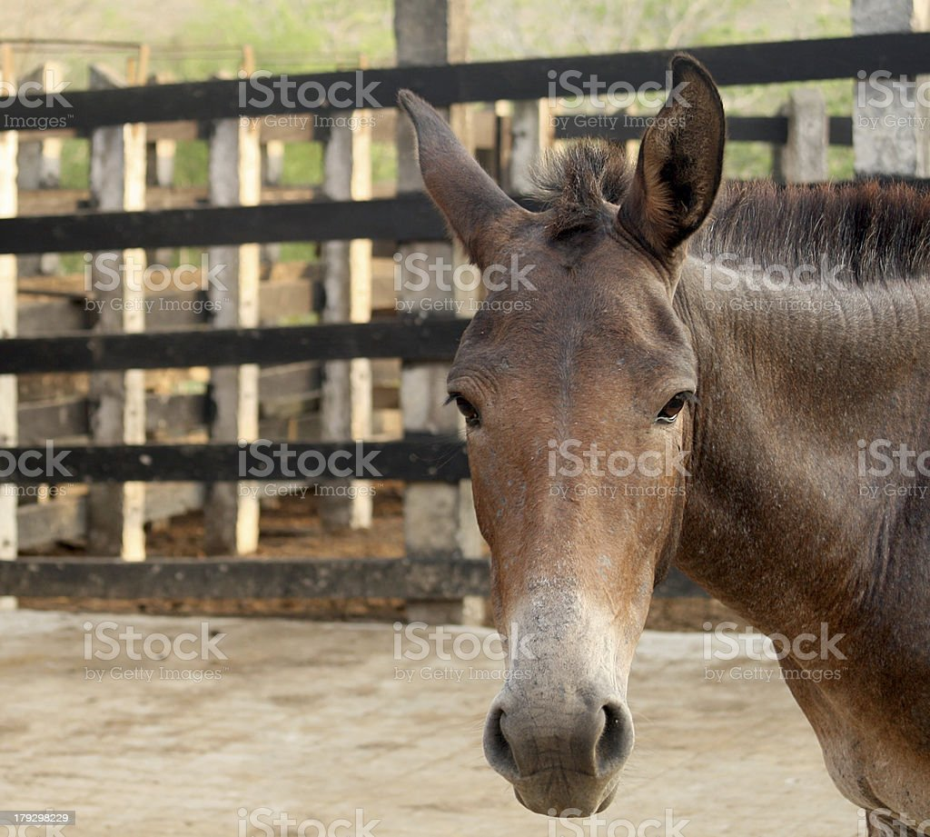 Donkey in a Stable royalty-free stock photo