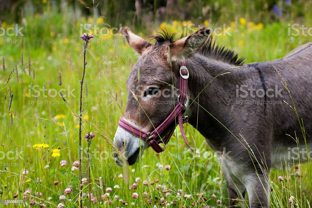 donkey in a summer field royalty-free stock photo