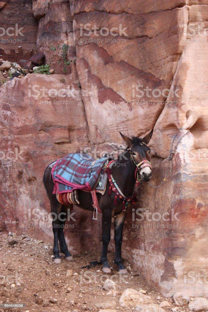 Donkey in ancient nabatean city of Petra, Jordan stock photo