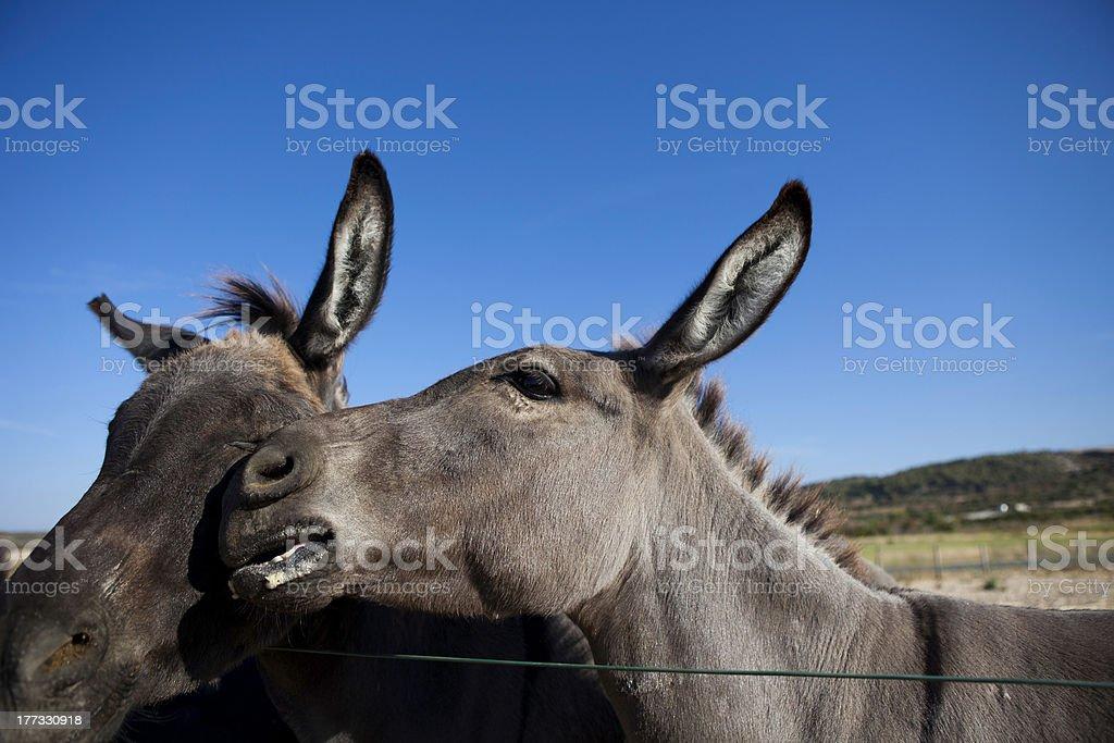 Donkey In Love royalty-free stock photo