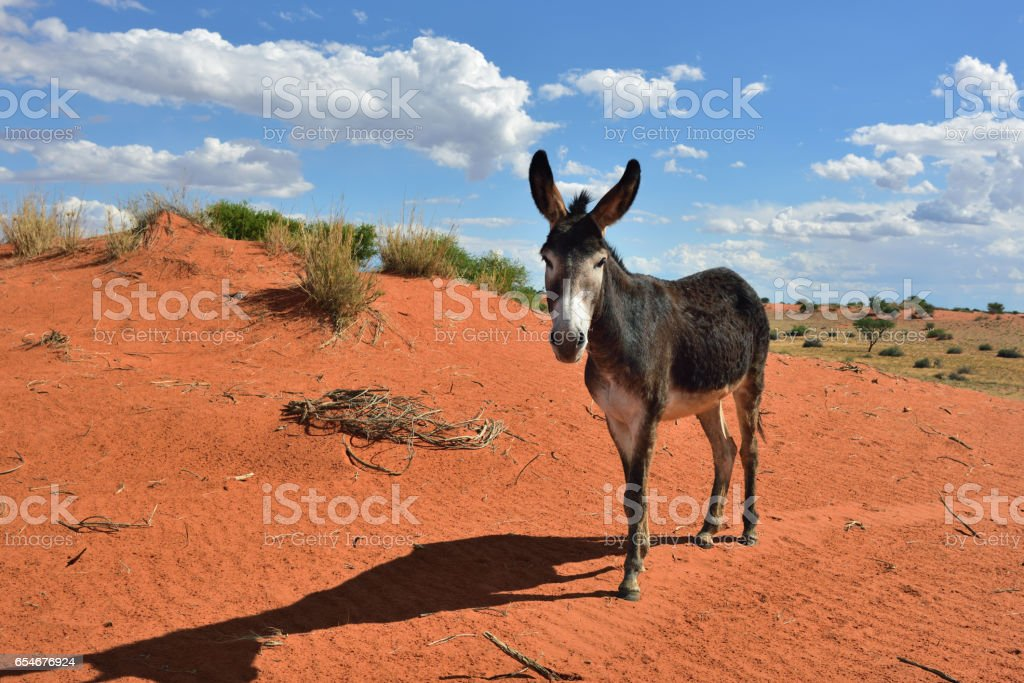 Donkey in the desert stock photo