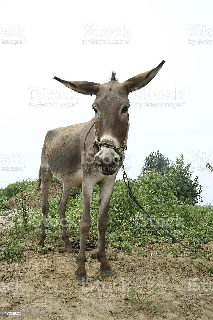donkey in the fields stock photo