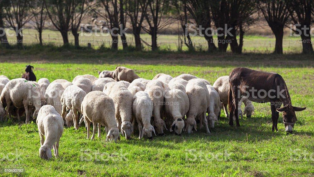 Donkey leading herd of sheeps stock photo