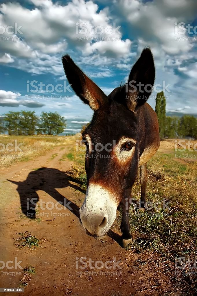 Donkey, looking into camera stock photo
