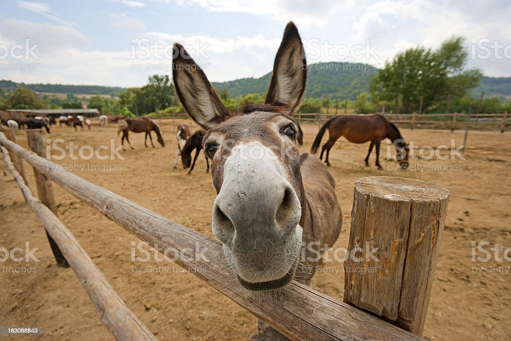 Donkey looks at camera in humorous cartoon-like way stock photo
