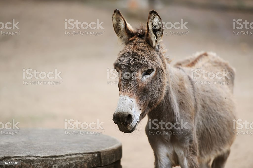 Donkey of brown color stock photo