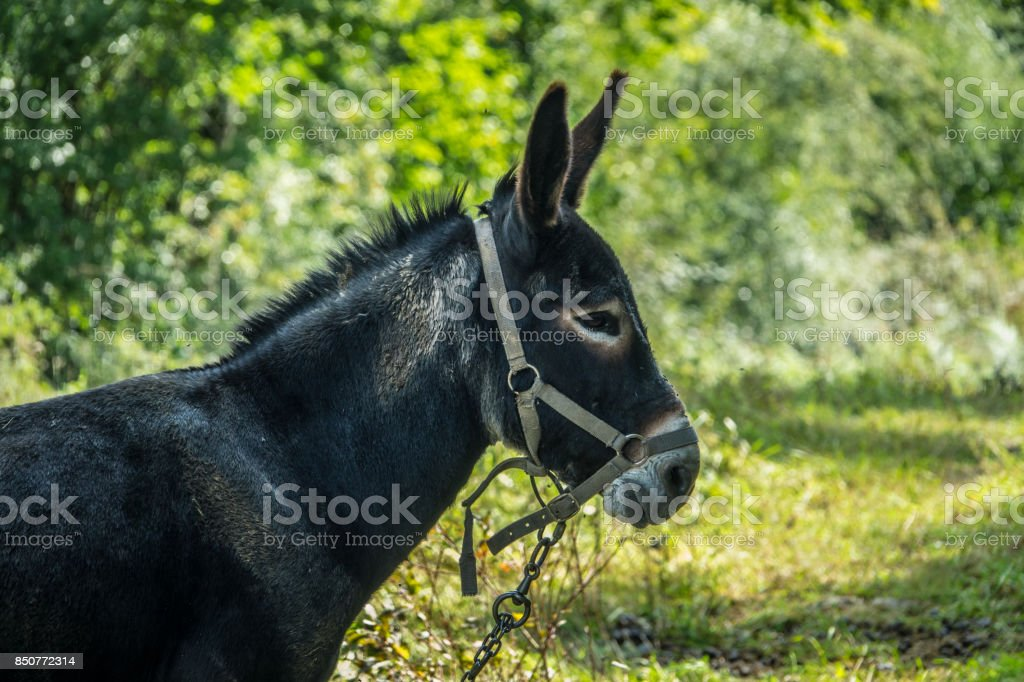 Donkey on alert head and ears detail stock photo