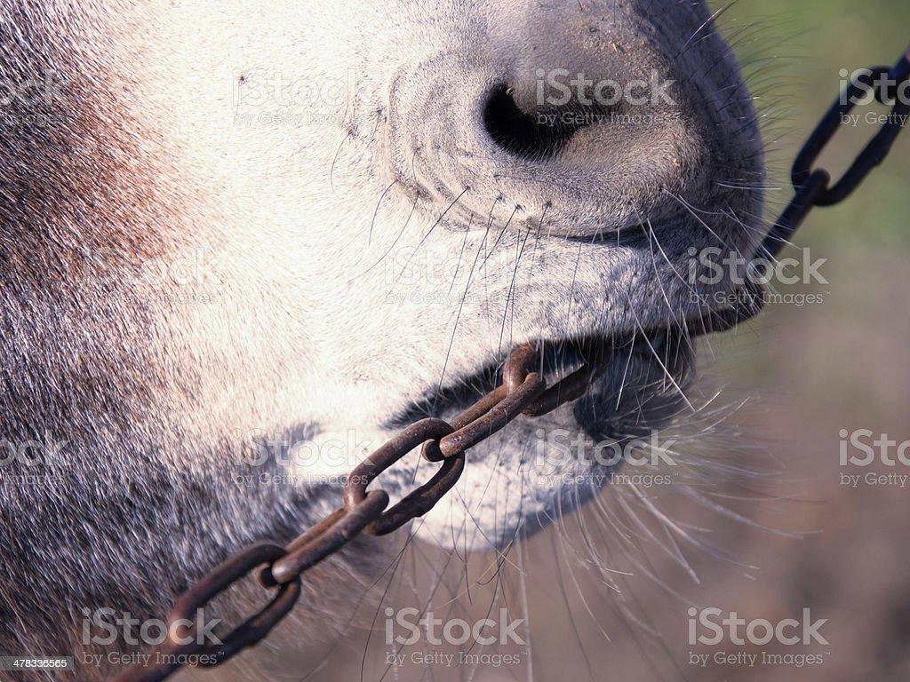 donkey on chain royalty-free stock photo