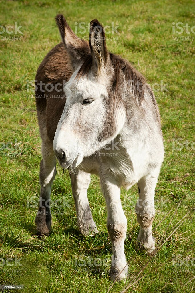 Donkey on green meadow. stock photo