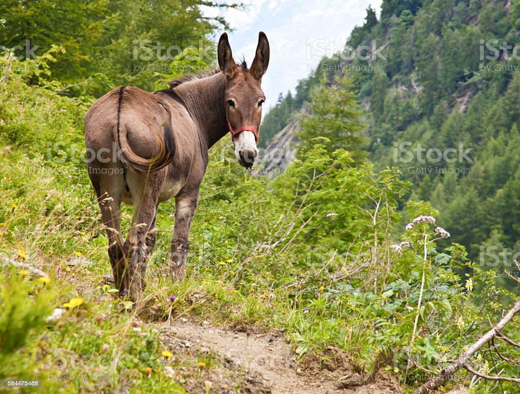 Donkey on Italian Alps stock photo