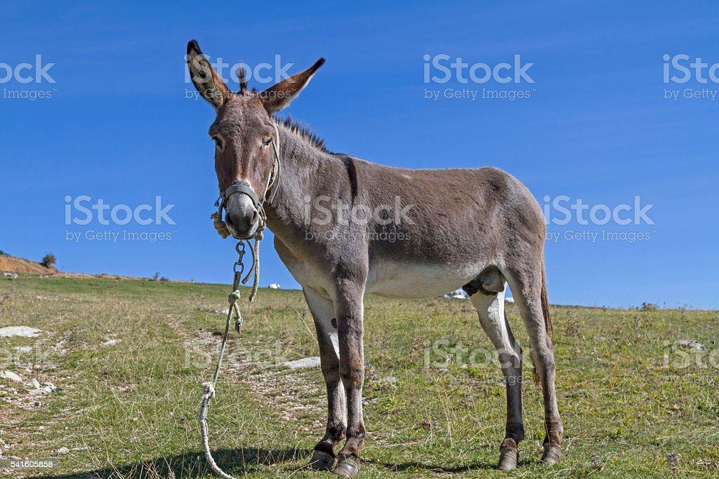 Donkey on mountain meadow stock photo