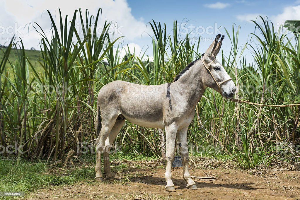 Donkey on the brazilian farm royalty-free stock photo