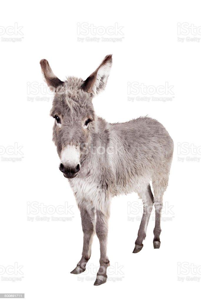 Donkey on white stock photo