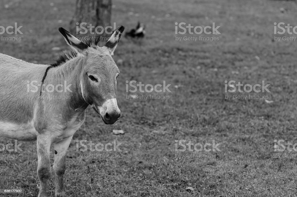Donkey Portrait Black and White stock photo
