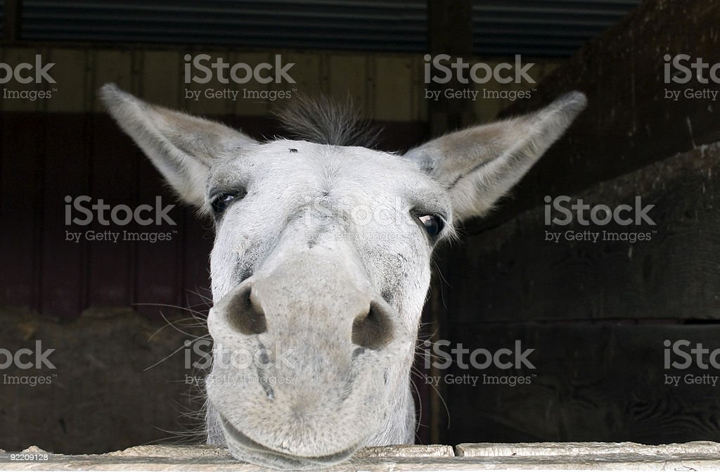 Donkey Portrait in Stable royalty-free stock photo