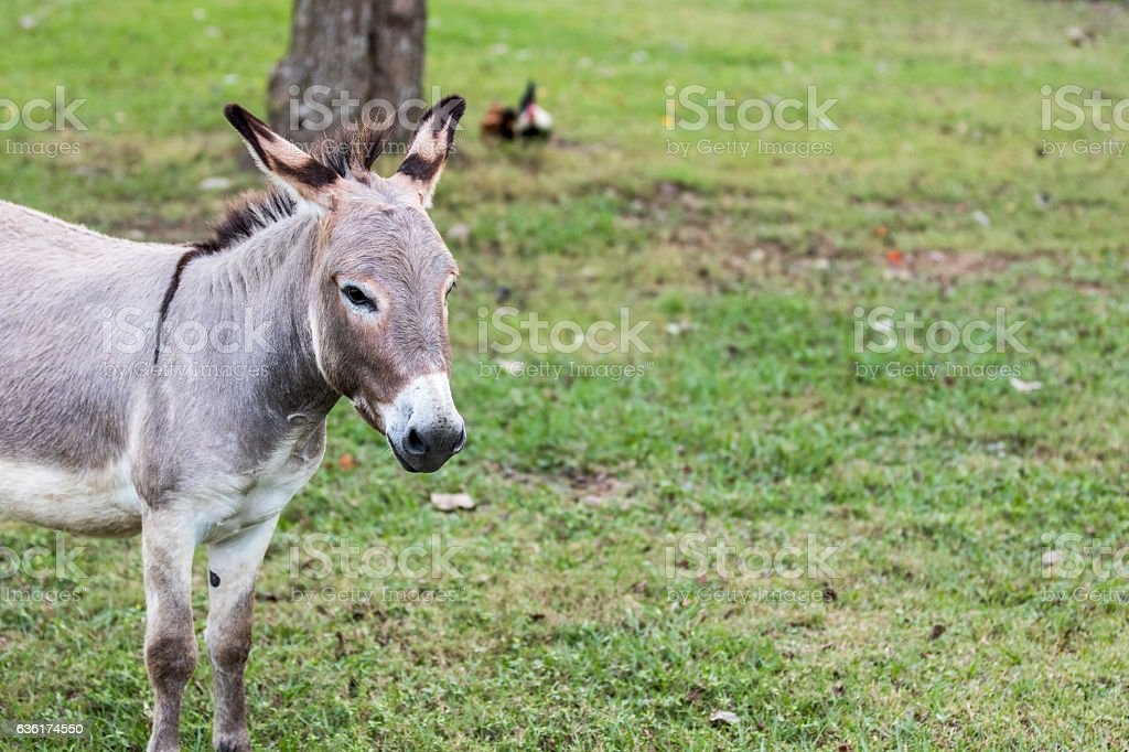 Donkey Portait stock photo