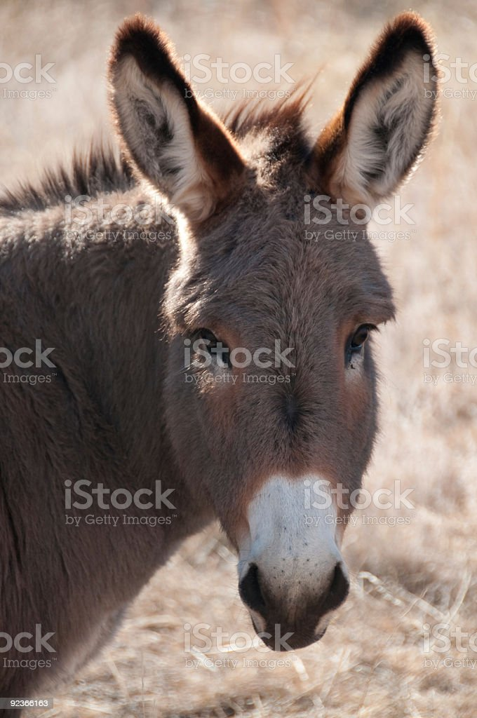 donkey portrait royalty-free stock photo